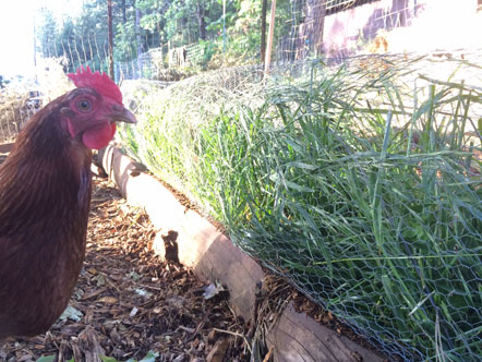 permaculture chicken forage